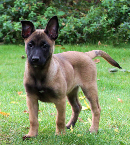 malinoiswelpen dmc malinois von bradenton in bayern d wurf. Black Bedroom Furniture Sets. Home Design Ideas